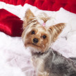 Yorkshire terrier - Lizenzfreies Foto