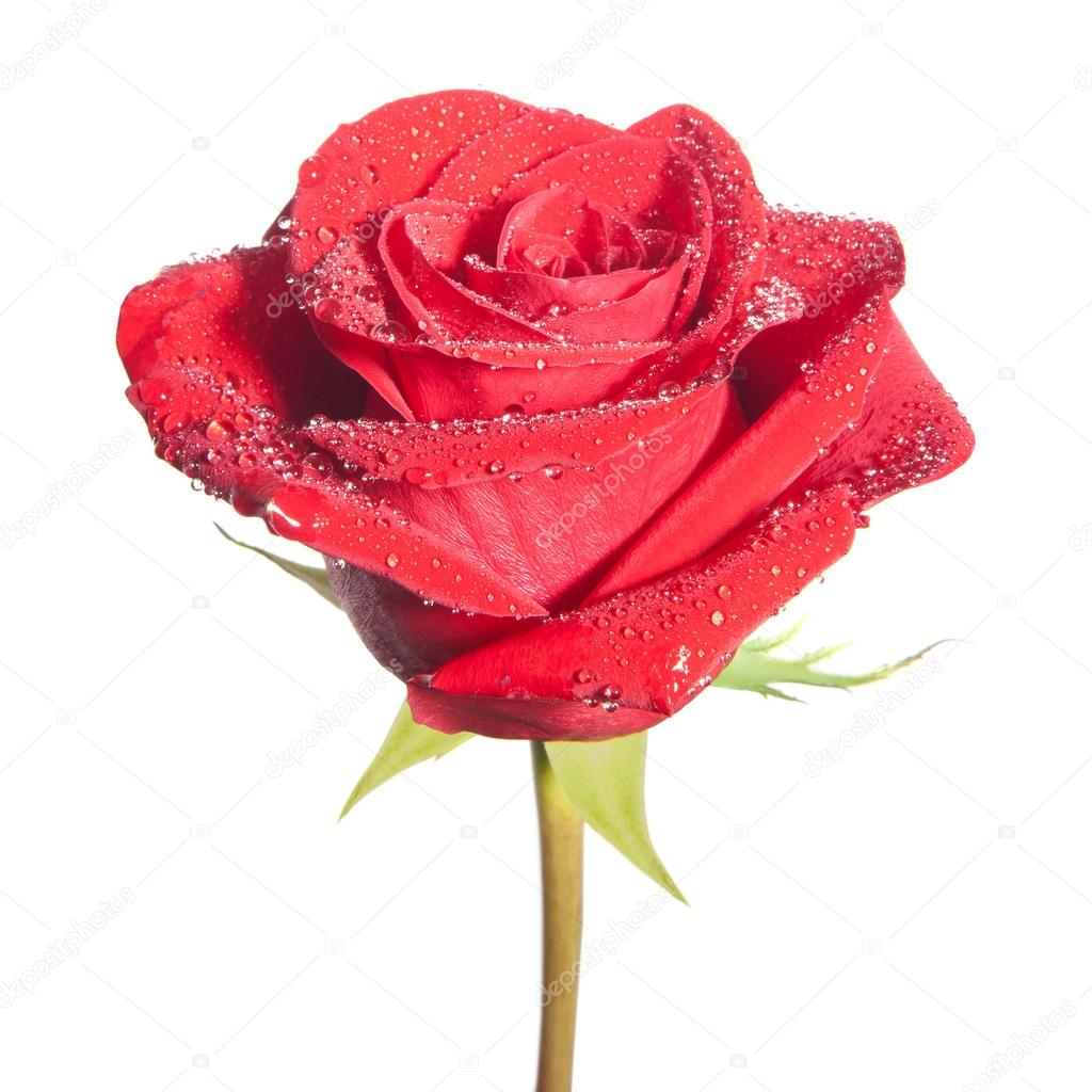 Red rose flower isolated on the white background — Foto Stock #18983563
