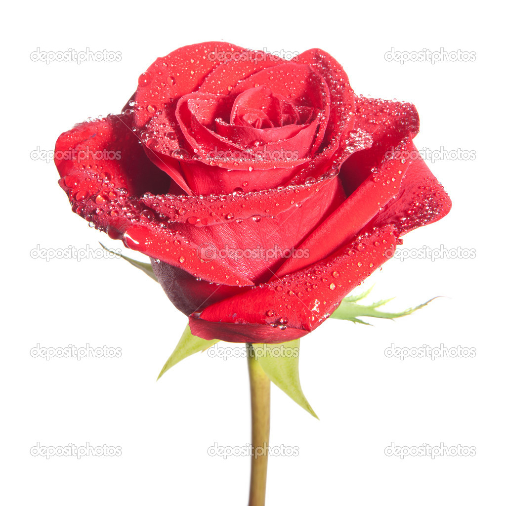 Red rose flower isolated on the white background — ストック写真 #18983563