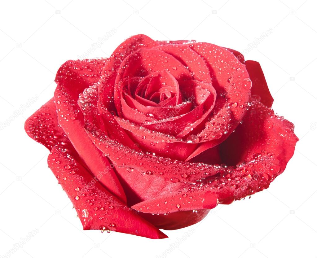 Red rose flower with path isolated on the white background — Stock Photo #19098441