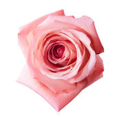 Pink rose with path — Stock Photo