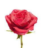 изолированные макро роза с пути — Стоковое фото