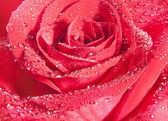 фон красная роза — Стоковое фото