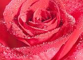 Fond de rose rouge — Photo