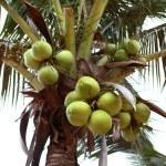 Постер, плакат: Green coconuts