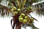 Green coconuts — Stock Photo