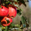 Royal Gala Apples — Stock Photo
