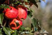 Royal Gala Apples — Stock Photo
