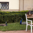 Sleeping peacocks - Stock Photo