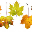 Maple leaves - autumn colors — Stock Photo