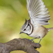 Crested tit — Stock Photo #12813905