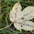 Autumn leaf with dewdrops — Stock Photo
