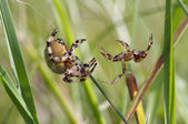 Duel two spiders — Stock Photo
