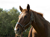 Brown horse on pasture — Stockfoto