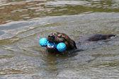 Swimming dog — Stock Photo