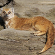 Yellow mongoose - 