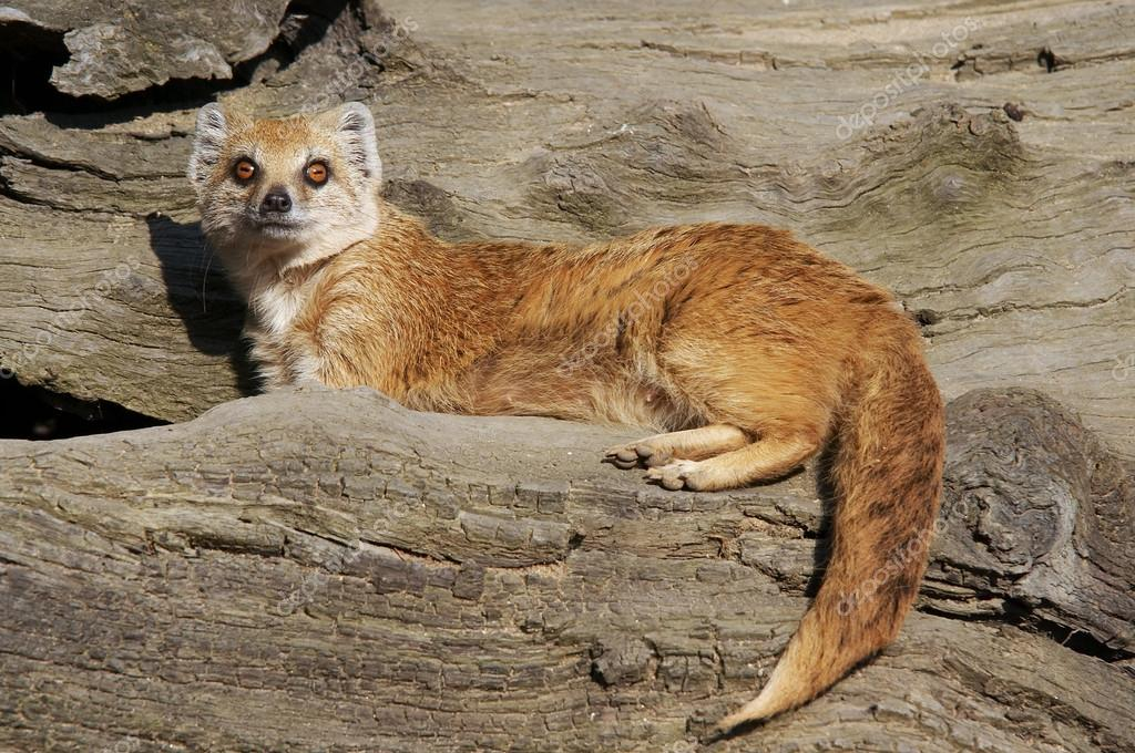 The Yellow Mongoose (Cynictis penicillata), sometimes referred to as the Red Meerkat, is a small mammal. — Stock Photo #18550529