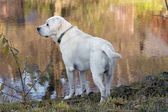 Labrador on the river bank — Stok fotoğraf
