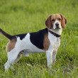 Beagle on meadow - Stock Photo