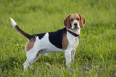 Beagle on meadow — Stock Photo