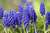 Bunch of grape hyacinths — Stock Photo