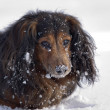 Dachshund in the snow — Stock Photo