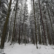Stock Photo: Winter coniferous forest