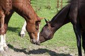 Cavalli al pascolo — Foto Stock