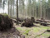 Fallen trees — Stock Photo
