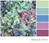 Hydrangea Palette — Stock Photo