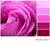 Pink Rose Palette — Stock Photo