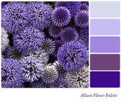Allium flower palette — Stock Photo