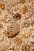Ammonites — Stock Photo
