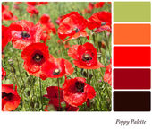 Poppy Palette — Stock Photo