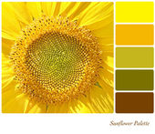 Sunflower palette — Stock Photo