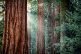 Giant Sequoias in early morning light — Stock Photo