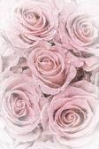 Verschoten rozen — Stockfoto