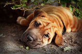 Sharpei — Stock Photo