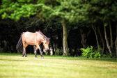 New forest pony — Stock fotografie