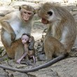 Toque macaque family — Stock Photo