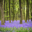 Bluebell carpet — Stock Photo