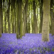Bluebells in woods — Stock Photo #30154021