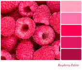 Raspberry Palette — Stock Photo