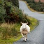 Sheep — Stock Photo #34551747