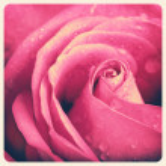 Vintage rose photo — Stock fotografie