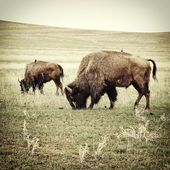 Bison grazing old photo — Stock Photo