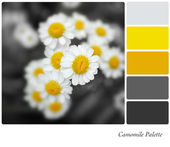 Camomile Palette — Stock Photo