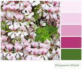 Pelargonium Palette — Stock Photo