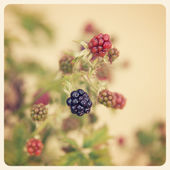 Blackberries on bush — Stock Photo