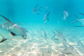 A shoal of fishes in Caribbean Sea — Stock Photo